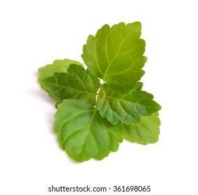 Sprig patchouli  Isolated on white background.