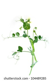 Sprig of pea with flowers and pods  isolated on a white background