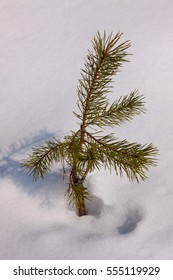 The sprig of pine in the snow. Sprout of tree in nature on a white background.