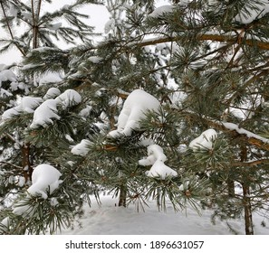 Sprig of pine tree covered hoarfrost. Scotch fir branches in snow forest, white winter background