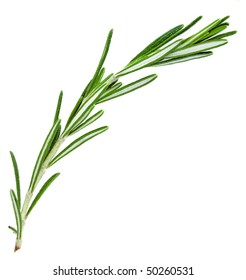A sprig  rosemary , the herb  isolated on white background