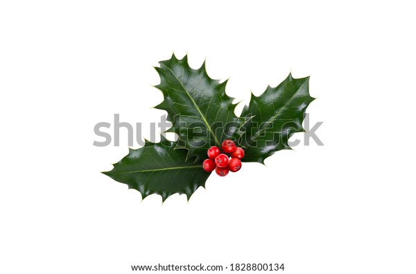 A sprig, three leaves, of green holly and red berries for Christmas decoration isolated against a white background.