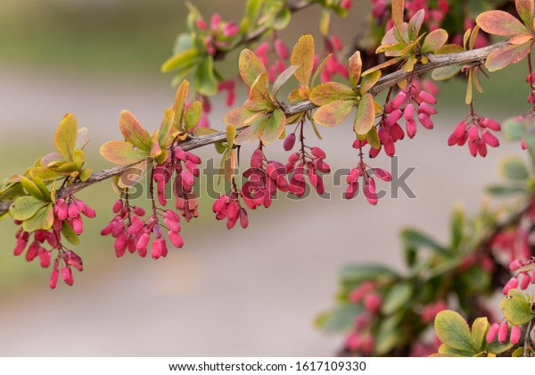A sprig of tree-like barberry with oval pinkish berries and gree