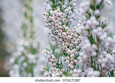 A sprig of white flowers Erica arborea or Erica herbacea