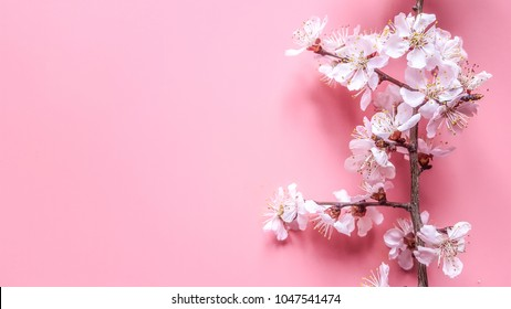 Sprigs of the apricot tree with flowers on a pink millennial background. Place for text. The concept of spring came.Top view.Flay lay