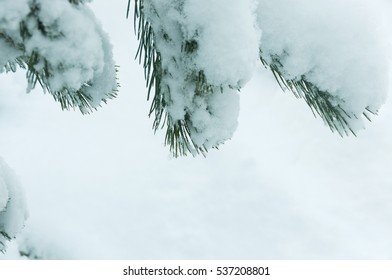 Sprigs of Christmas trees in the snow on a background of blue sky on the right side to the left side. copy space on a sky background