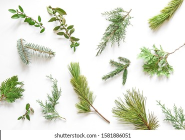 Sprigs of coniferous evergreens on a white background