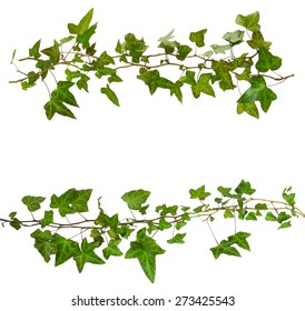 sprigs of ivy with green leaves isolated on a white background
