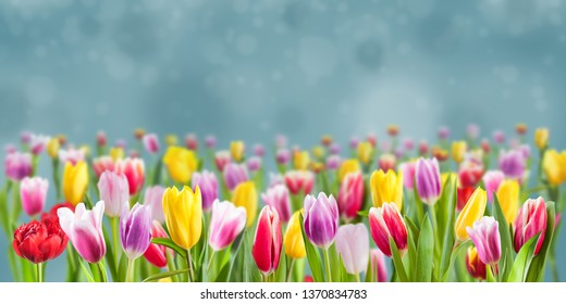 Sprind floral background for holiday design, beautiful tulip flowers