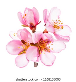 spring - almond blossoms close-up isolated on white background