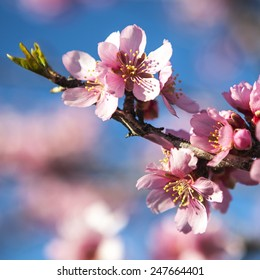 spring almond tree pink flowers with branch and blue sky outdoors