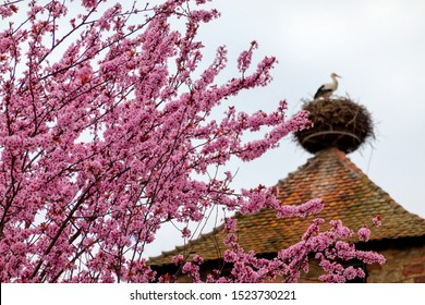 Spring in Alsace, France. In the foreground there are flowering sakura branches. In the background is a tiled roof with a stork nest. A stork is standing in the nest.