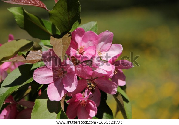 Spring Apple blossom. Beautiful pink flowers on a branch, on a blurred green-yellow background