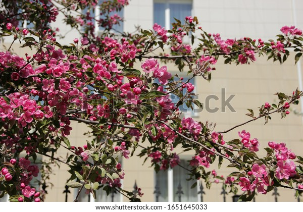 Spring Apple blossom. Beautiful pink flowers on tree branches