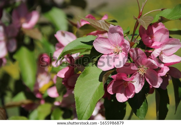 spring-apple-blossom-beautiful-pink-600w