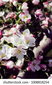 Spring Apple Blossom Bran Closeup