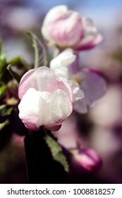 Spring Apple Blossom Buds Closeup