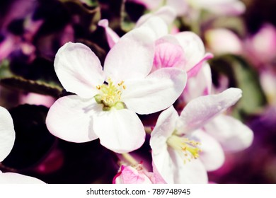 Spring Apple Blossom Closeup in an Orchard