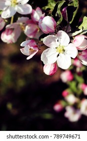 Spring Apple Blossoms in an Orchard Background