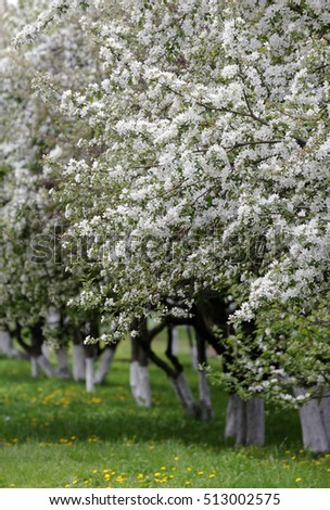 Spring Apple Trees Blossom Flowers Apple Stock Photo Edit Now