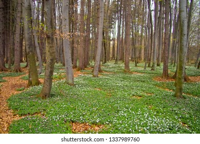 Spring awakening: Forest of hornbeams (Carpinus betulus) and soil covered with flowering anemones (Anemone nemorosa)