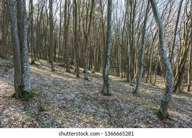 Spring awakening: Forest of hornbeams (Carpinus betulus). Forest of hornbeams (Carpinus betulus) in the early spring