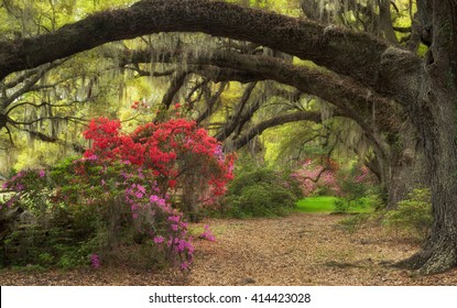 Spring Azalea Flowers Blooming in the Lowcountry of Charleston South Carolina with Live Oaks and Spanish Moss