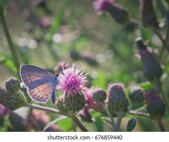 A Spring Azure Butterfly Feeds on Thistle