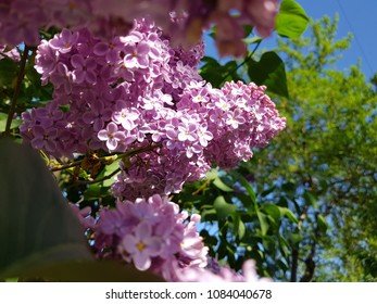 Spring background art with Syringa lilac Blossom. Beautiful Nature Scene with Blooming Tree and Sun Flare. Abstract Green Blue blurred background. Shallow depth of field.