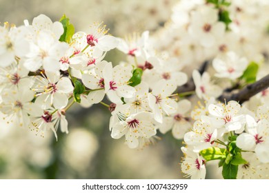 Spring background art with white cherry blossom. Beautiful nature scene with blooming tree and sun flare. Spring flowers. Beautiful orchard. Abstract blurred background. Shallow depth of field.