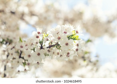 Spring background art with white cherry blossom. Sunny day. Spring flowers. Abstract blurred background. Shallow depth of field.