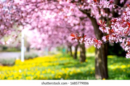 Spring background - beautiful alley with pink cherry blossom trees and yellow dandelion flowers. Copy space for text.