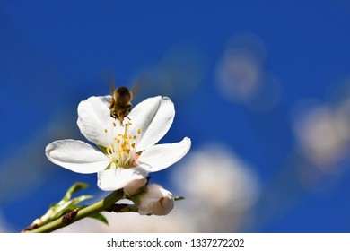 Spring background. A beautiful blooming tree in spring with a flying bee. Symbols of springtime. Concept for nature and animals.