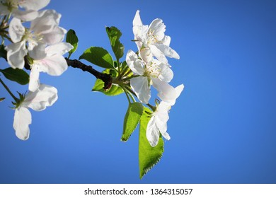 Spring background. Beautiful branch apple tree blossoms against a blue background .