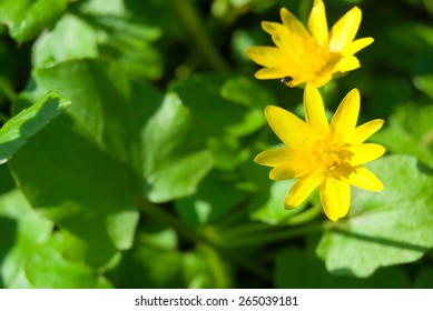 Spring background with beautiful yellow flowers in green grass