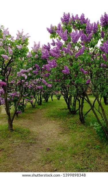 Spring Background Blooming Garden Purple Pink Stock Photo Edit