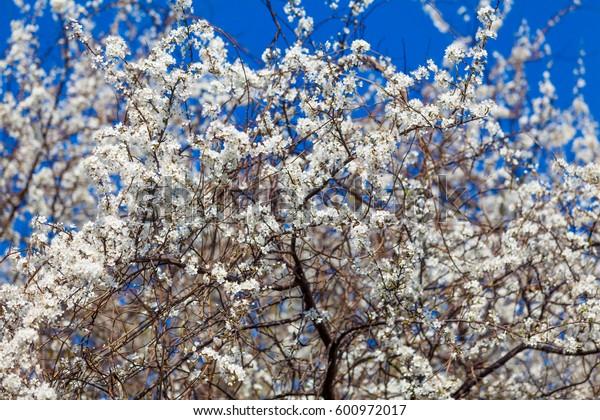 spring background. Spring blossom background