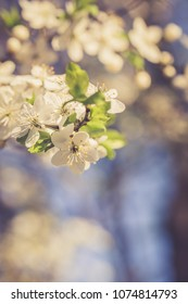 Spring background with blossom treee