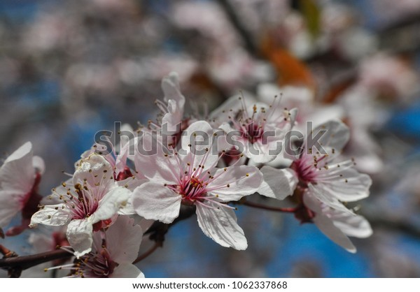 Spring Background, Blossoming trees in spring. Tree branches in full bloom