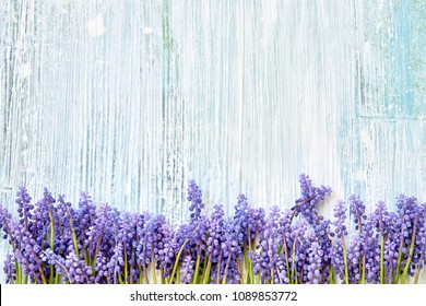 Spring background. Blue muscari (grape hyacinth, viper onion) flowers on blue wooden background. Copy space, top view. Holiday background. Birthday, Mothers Day concept.
