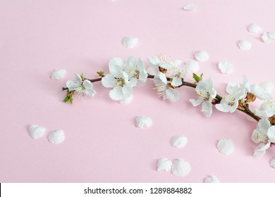 Spring background. Branch of apricot and fallen petals on a pink background. Sakura branch. Close-up. Flat lay.