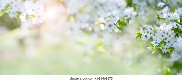 Spring background with cherry blossoms and light effects