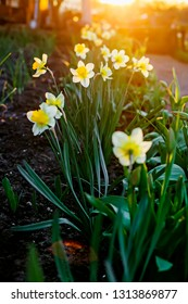 Spring background of daffodils flowers in the sunset. Beautiful blooming  flowerbed full of narcissus in sunshine. Natural backdrop for Easter holiday  or women day, 8 of march card, floral gift
