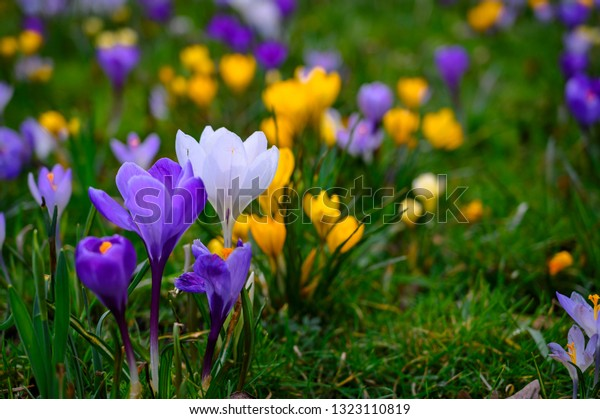 Spring background with flowering violet, purple, yellow and white Crocus in early spring. Crocus Iridaceae ( The Iris Family ), banner - Image