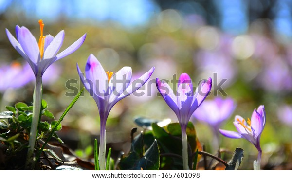 Spring background with Flowering violet.Crocuses flowers in Early Spring.Purple crocus flowers, violet crocus, spring or giant crocus
