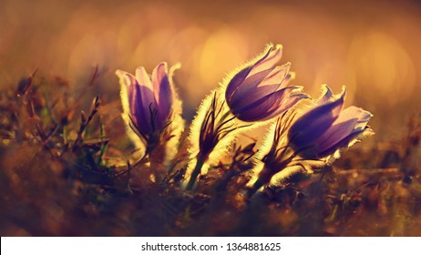 Spring background with flowers on meadow. Beautiful blooming pasque flower at sunset. Spring nature, colorful natural blurred background