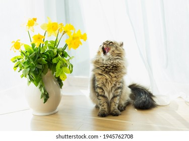 Spring background. fluffy cute cat looks up and licks his mouth sits next to yellow daffodils in a white vase on a white background. funny cats. spring cats