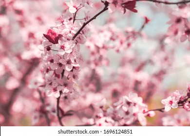 Spring background in the form of flowering tree branches with pink flowers against a blue sky. Spring flowers. Beautiful nature scene with a flowering tree and sun sky. Easter sunny day. In the spring