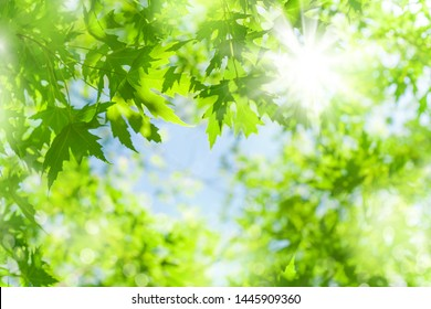 Spring background. Fresh bright leaves of a maple tree in the sunlight.