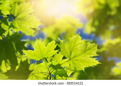 Spring background with fresh maple leaves in sunlight
